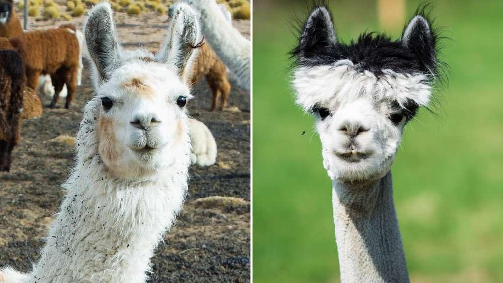 Różnice między lamami, a alpakami